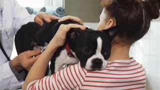 Close up of a poor little Boston Terrier puppy looking sad and sick during medical examination at the vet clinic by professional veterinatian his owner little girl petting him love care animals dogs.