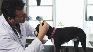 Handsome mature male professional vet examinign ears of a cute Boston Terrier puppy at the clinic medicine health pet care profession occupation canine dogs helpful domestic family.