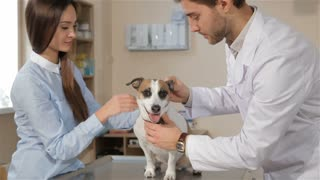 Young male vet checking up the dog at the veterinarian clinic. Brunette male veterinarian look into dog's ear. Attractive caucasian girl pacifying her Jack Russel Terier at the vet clinic