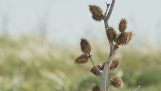 A beautiful dry plant. Grass on the wind