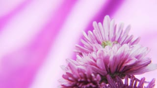Purple Flowers Rotating on a Deep Purple Background