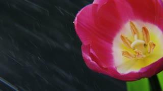 Purple Tulip in the Rain Rotating