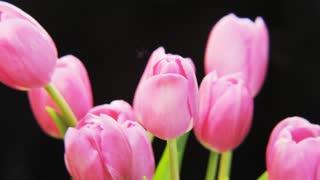 Purple Tulips Rotating on Black Background
