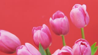 Purple Tulips Rotating on Red background