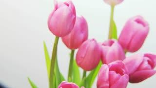 Purple Tulips Rotating on White Background