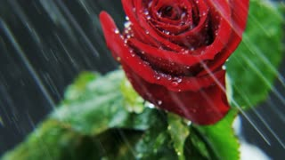 Red Rose Rotating in Heavy Rain