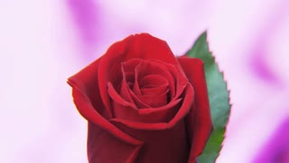 Red Rose Rotating on a Deep Purple Background