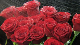 Red Roses in Heavy Rain