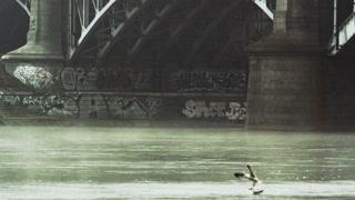 Black-Headed Gulls Under the Bridge
