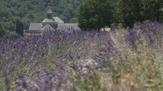 Butterflies Flying in Lavender Field in France