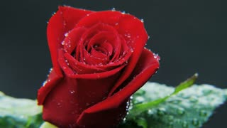 Wet Red Rose Rotating