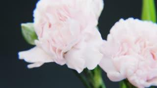 White Roses Rotating