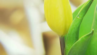 Yellow Tulip Rotating on a Golden Background