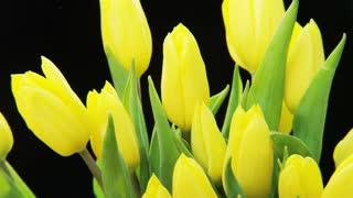 Yellow Tulips Rotating on Black Background