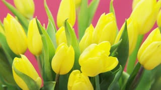 Yellow Tulips Rotating on Pink Background