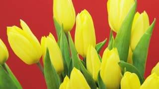 Yellow Tulips Rotating on Red Background