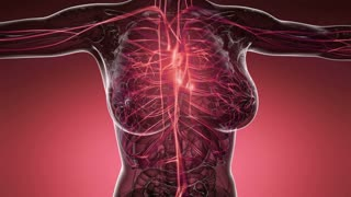 Loop Science Anatomy Scan Of Woman Heart And Blood Vessels Glowing