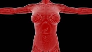 Loop Science Anatomy Tomography Scan Of Human Body