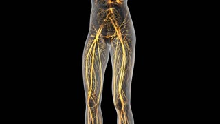 science anatomy of human body in x-ray with glow blood vessels on white. alpha channel