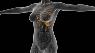 science anatomy of human body in x-ray with glow lungs. alpha channel