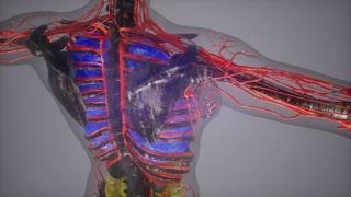 colored Human Internal organs scan