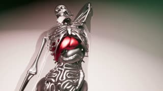 human liver model with all organs and bones