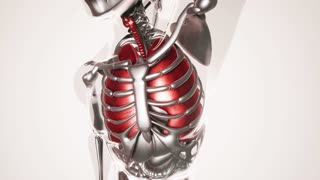 human lungs model with all organs and bones