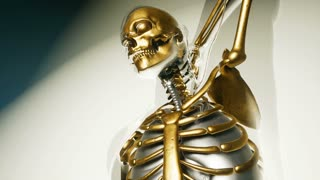 human skeleton bones model with organs