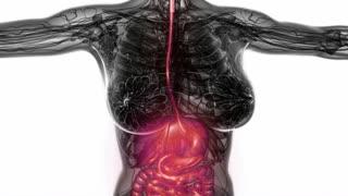 Loop Science Anatomy Scan Of Woman Digestive System Glowing
