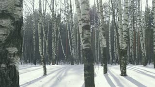 Birch trees in winter forest, Russia