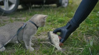 British shorthair cat walking near spear fishing - plays with Freshwater Fish and fisherman's hand at grass in camping