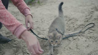 British Shorthair Tabby cat in collar walking on sand outdoor - plays with the hand of a woman, close up