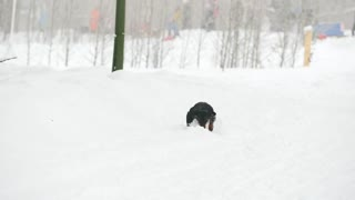 Dog dachshund playing and running in the snow