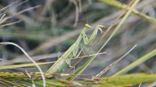 Green Mantis Religiosa Macro, in grass