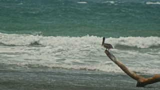 Pelican sitting on a log at caribbean sea. Dominican Republick.