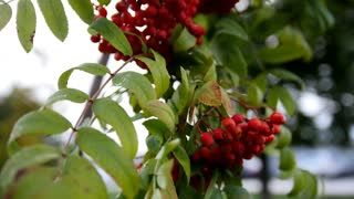 Rowan branch - at autumn russia, red berries and green leaves