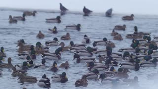 A lot of ducks on the frozen lake