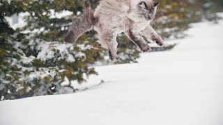 Big furry cat jumps into a snowdrift and crawls in the snow