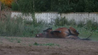 Brown horse rolling over back in the dust
