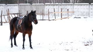 Brown saddled horses walking in an open paddock in winter
