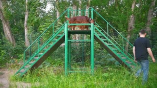 Dog breed red irish setter rinning on stairs outdoors at summer park