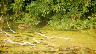 Duck swims in the water on the background of green foliage