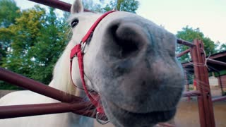 Funny white horse sniffing very close to camera lens in the corral