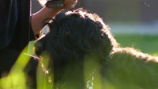 Girl combing the Terrier's head, with the dog flying dust