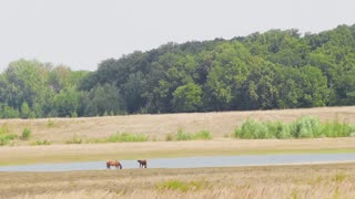 Horses grazing in nature in the field, by the river, against the trees