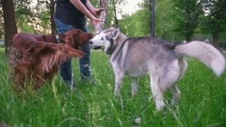 Man in park plays with dogs - irish setter and husky - give him branch of tree at summer park