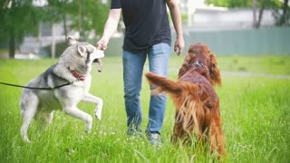 Man owner walking and playing with his dogs - irish setter and husky, slow motion