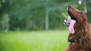 Man plays with his pet dog - irish setter. Male give him branch of the tree