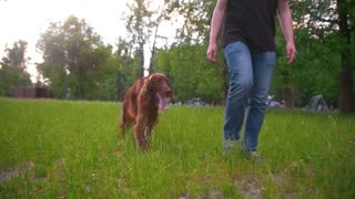 Man walking with his dog irish setter in the park