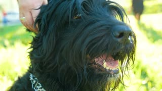 Muzzle black Russian Terrier, animal looks to run past a dog